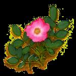 Экстракт цветов дикой розы