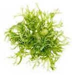 Экстракт морских водорослей